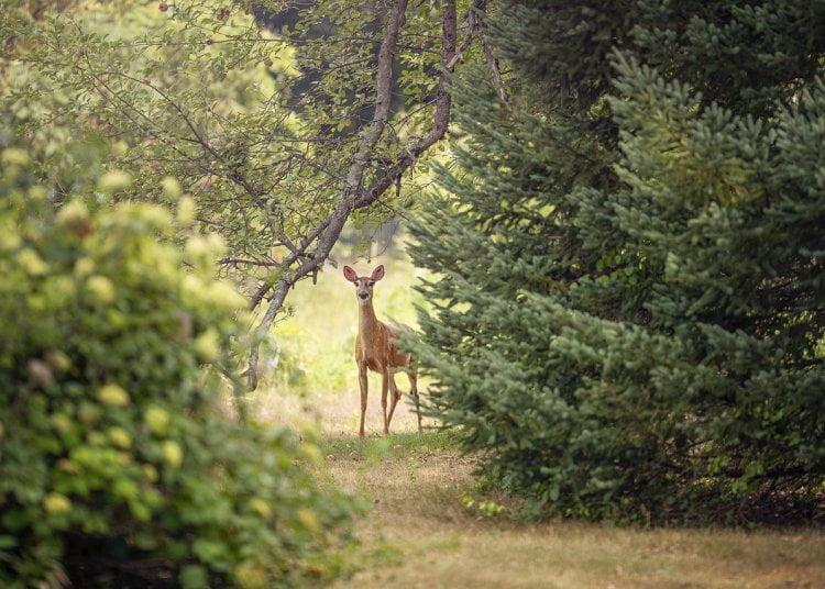 Srnec v lese