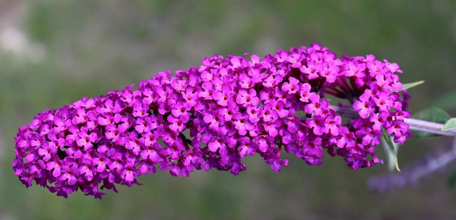 Květy motýlí keř