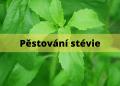 pestovani stevie