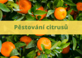 pestovani citrusu