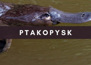 Ptakopysk
