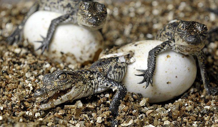 crocodile2 1