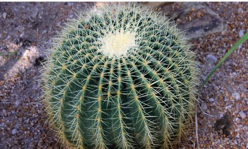 Echinokaktus